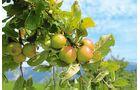 Nachschub für den Apfelmost