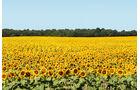 Sonnenblumenfeld zwischen Nevers und La Charité-sur-Loire